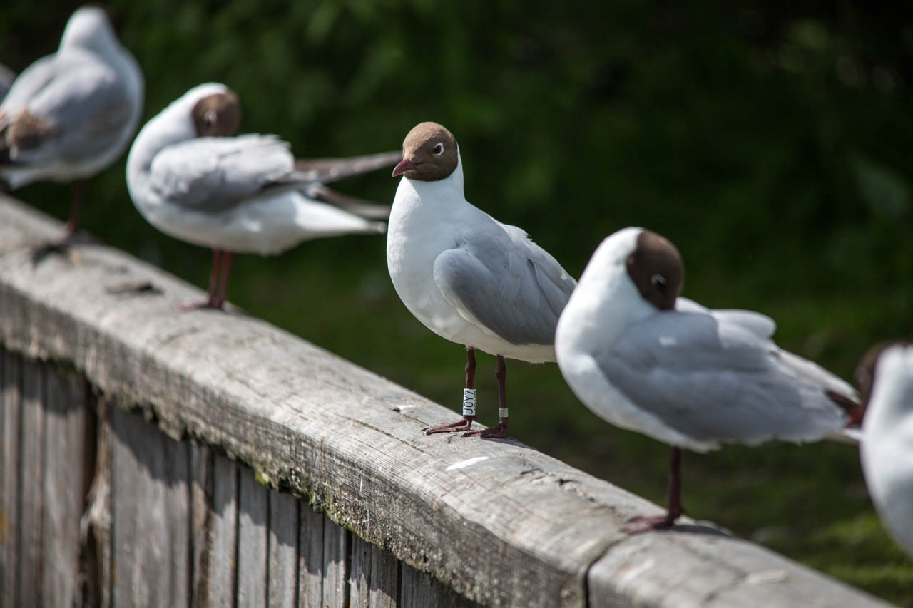 Lineup of black-headed gulls