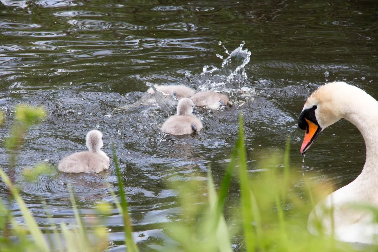 Mute Swan and chicks
